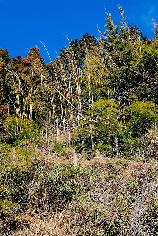 Bamboo Trees in the town of Hino in Shiga Prefecture.