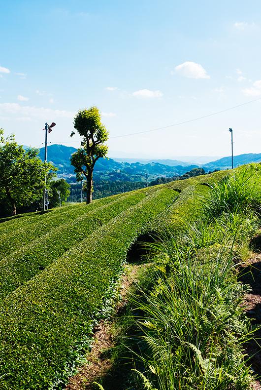Greenery in Wazuka, Kyoto