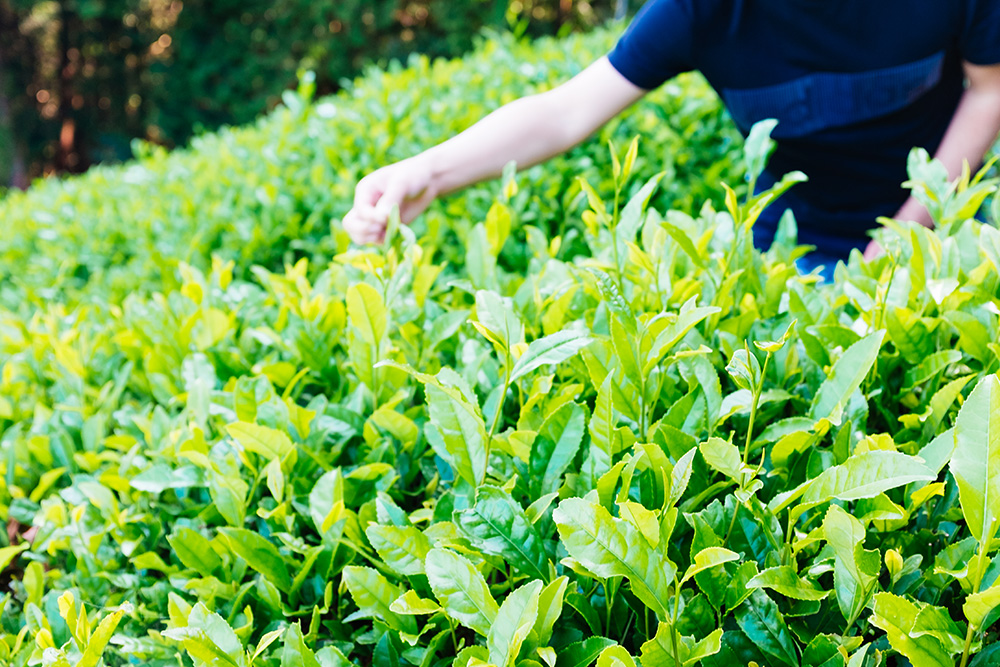 Tea picking in Wazuka, Kyoto.