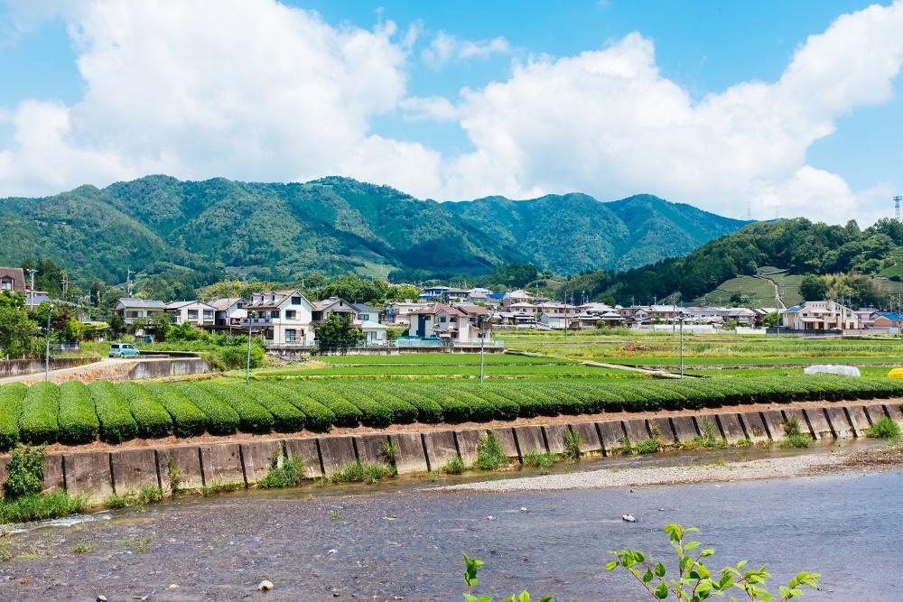 Tea Farms in the tea town of  Wazuka in Kyoto