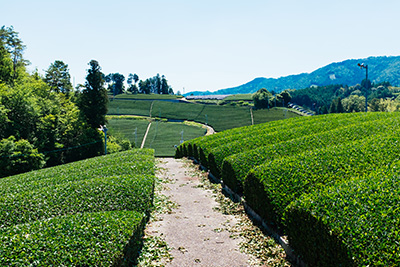 Beautiful tea landscape in Wazuka, Kyoto.