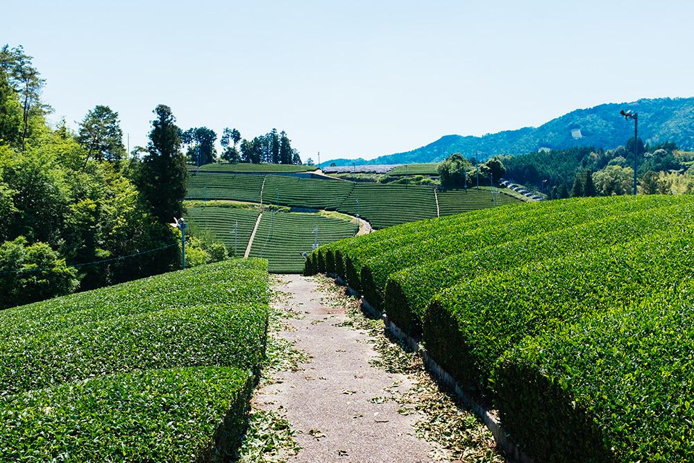 Beautiful tea landscape in Wazuka, Kyoto.