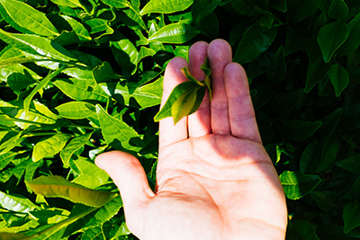Picking tea leaves by hand in Wazuka, Kyoto.