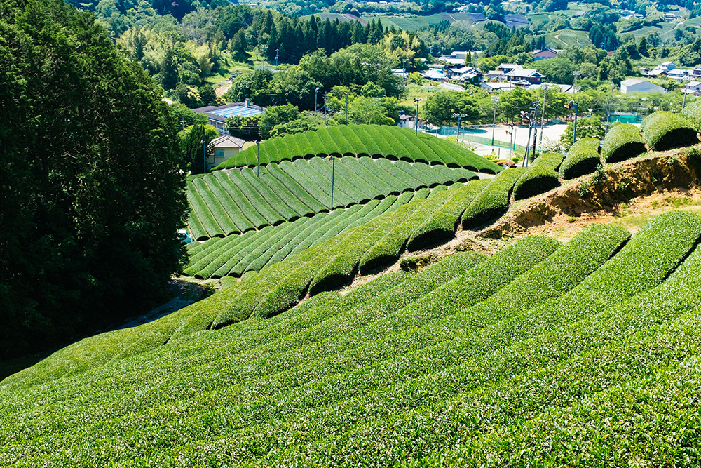 Parallel lines running across the hills of Wazuka in Kyoto.