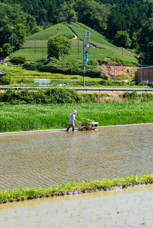 Farmers tending to the rice fields in Wazuka, Kyoto.