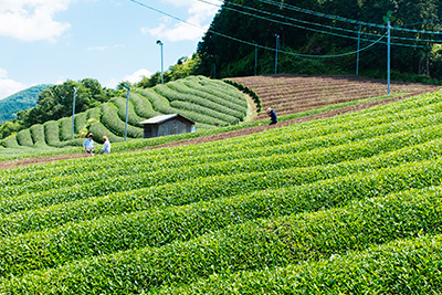 Harvesting Japanese Green Tea in Wazuka, Kyoto